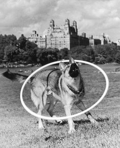 circa 1965: Eric, a fifteen-month-old German shepherd, barks while wearing a hula hoop over his body near the water's edge in central park, New York City. (Photo by Hulton Archive/Getty Images)