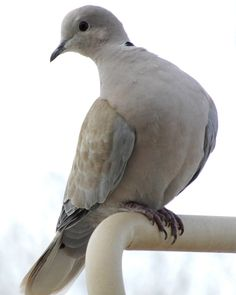 https://flic.kr/p/RpNgRw | Ring Neck Dove |           Trying to get a look!