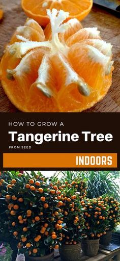 how to grow vegetables How To Grow A Tangerine Tree From Seed Indoors Indoor Lemon Tree, Indoor Trees, Potted Trees, Trees To Plant, Growing Fruit Trees, Growing Seeds, Growing Tree, Growing Lemons From Seeds, Bonsai Fruit Tree