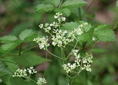 Otoko-eshi (japanese name) /  Patrinia villosa (scientific name)