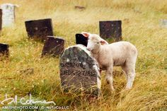 cemetery lamb eating lichen off gravestone grass at Amish graveyard