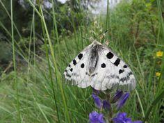 Apollovlinder tijdens de wandeling naar Palent. Waardplanten zijn Wit Vetkruid en Huislook.