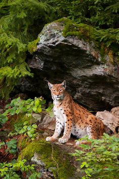 The Eurasian Lynx is the largest lynx species. It is native to European and Siberian forest, South Asia and East Asia.
