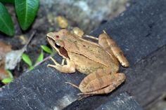Frog, ca. 3cm