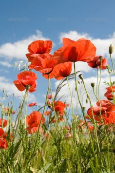 Poppies ... beautiful, beauty, blossom, blue, capitulum, clear, cloud, corn, crops, day, ear, farm, field, florescence, flower, flowering, fresh, fruit, grass, green, head, idyllic, landscape, landscaped, leaf, many, meadow, nature, nobody, outdoors, panoramic, pasture, petal, plain, plant, poppies, poppy, red, rural, rye, scene, scenics, sky, spring, summer, tranquil, vertical, wheat, white