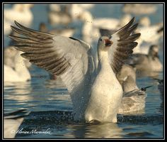 Snow Goose 28 by Ptimac on DeviantArt