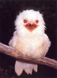Rare albino Tawny Frogmouth by rosalyn