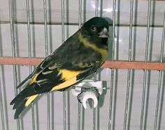 Siskin, Parrot, Birds, Animals, Instagram, Dancing With The Stars, Beauty, Animais, Parrot Bird