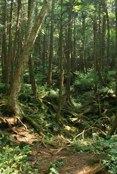 Aokigahara, the Suicidal Forest of Japan, Also known as    Japan's Haunted Forest of Death