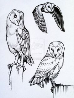 Barn Owl studies by sweav on deviantART
