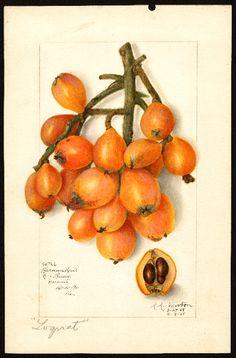 789. Eriobotrya japonica (loquat) vintage fruit illustration Newton, Amanda Almira, ca. 1860-1943 Subject(s):Eriobotrya japonica , loquats Year:1908