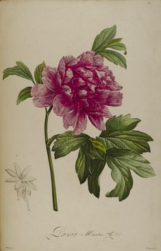 Peony. Plate from 'Description des Plantes Rares'by Aime Bonpland. (1812). Missouri Botanical Garden archive.org