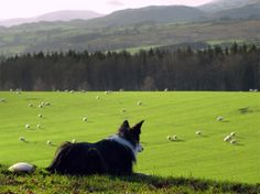 Border Collie watching sheep