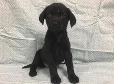 NAME: Buddy. BREED: Beagle/Labrador Retriever mix. LOCATED: Champaign, Illinois. AGE: 3 weeks old. ADOPTION FEE: $300. SEX: Female. He is a small dog waiting for the right family to adopt him!!!!!  Send application at http://www.DogsFromMars.net