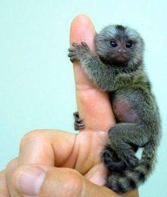 Pygmy marmosets are the smallest monkeys in the world - don't let go of me!!