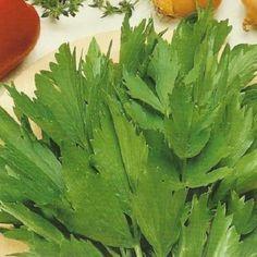 Leustean. Frunzele fragede de leustean se toaca marunt si se adauga la finalul prepararii ciorbelor.