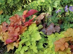 Planting Heuchera  See how this vibrant perennial can brighten up your garden. Whether you call them heucheras, coral bells, or alumroot, get helpful planting and growing advice on this popular perennial.