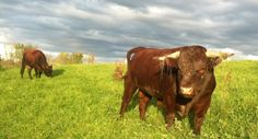 Ray the Full and By Farm cattle herd sire (Credit: James Graves)