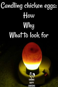 Candling chickens eggs: what it means and how to do it.