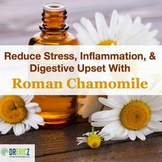 Chamomile varieties have long been known for their calming effects on the nervous system as well as the digestive system. Roman chamomile differs slightly from the more commonly used German chamomile, but still carries its weight in both the herbal and es Doterra Roman Chamomile, Chamomile Oil, Chamomile Essential Oil, Essential Oil Uses, Doterra Essential Oils, Natural Remedies For Heartburn, Natural Cures, Natural Healing, Young Living Oils