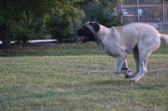 Kangaroo English Mastiff.....