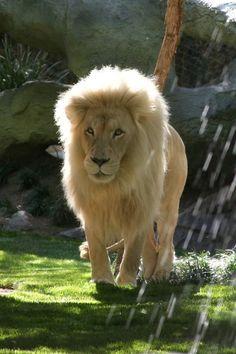 a white lion...  magnificent