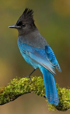 Stellar's Jay- Provincial Bird of  B.C. we arent seeing them this year as much in the garden