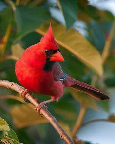 Cover Cardinal