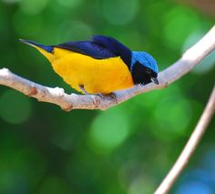 Tanager king photo (Euphonia cyanocephala) by Paul Fenalti | Wiki Aves - The Encyclopedia of Birds of Brazil