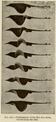 Undulations of the fins of a skate viewed from the side. Étienne-Jules Marey, 1894.