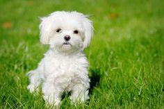 Cheap Maltese Puppies | Cheap Maltese Puppies For Sale In Scotland
