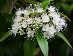 Amazing Health Benefits And Uses Of Lemon Myrtle. Lemon myrtle is an antioxidant and fragrant herbal supplement that is used in various ways Myrtle Essential Oil, Essential Oils For Headaches, Organic Essential Oils, Pure Essential, Myrtle Flower, Myrtle Tree, Bush Garden, Lemon Uses, Australian Plants