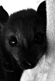 Cute little bat face Cute Baby Animals, Animals And Pets, Funny Animals, Amor Animal, Mundo Animal, Beautiful Creatures, Animals Beautiful, Rat Terrier, Cute Bat