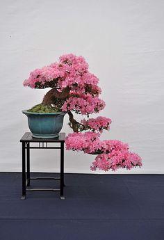 1-6-2013-Bonsai-van-het-westen-033-Hans-van-Meer-800.jpg (546×800)