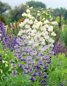 Baptisia might just be the perfect Midwest plant! Here's why: http://www.midwestliving.com/blog/life/the-one-native-perennial-everyone-should-plant/ #gardening #garden