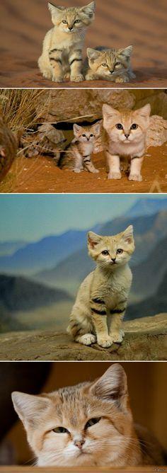 Новосибирский зоопарк отправил четырех барханных котов в Центр разведения кошек в Калифорнии. Сейчас этот вид котеек считается вымирающим. минутка мимими