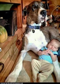Love this pic! So precious! ...#Great #Dane #dog. Really makes me miss zack.