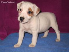 Jack Russell. Ms. Pearl probably looked like this : )