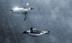 Penguins underwater. Photo by Guillaume Dargaud