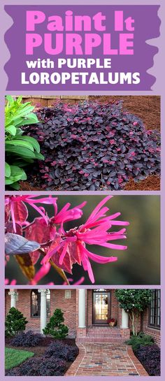 If you live and garden in a region where the average low winter temperature doesn't go below 0 to 5 degrees Fahrenheit, and you're looking for low-maintenance, super-hardy, pest and disease resistant evergreen flowering shrubs to color up your landscape, it does't get much better than the purple Loropetalums, sometimes commonly called Chinese Witchazel or Chinese Fringe Flower.