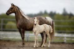 This is Vanilla and Creme Brule. They are Chocolate Dappled Palomino Morgans