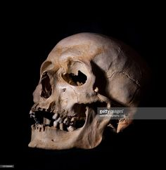 View Stock Photo of Human Skull. Find premium, high-resolution photos at Getty Images. Skull Reference, Figure Reference, Anatomy Reference, Tiger Skull, Skull Art, Skull Tattoos, Body Art Tattoos, Skull Sketch, Skull Drawings