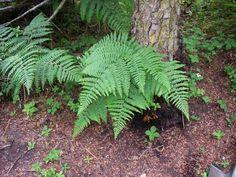 Pteridium aquilinum  (bracken fern) Photo of Pteridium aquilinum by Aaron Baldwin