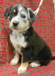 "Ivy is an adoptable Australian Shepherd Dog in Niles, IL. The litter of five ""I"" puppies is about 8 weeks old on 1.30.13. They have amazing thick fluffy fur. Ivetta and Ike have cute little nub tails ..."