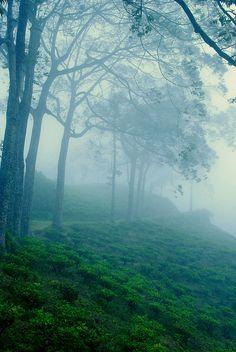 Tea plantations in Cikuray Garut in West Java, Indonesia