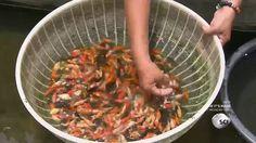 How It's Made - Aquarium Fish