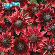 Rudbeckia (Cherry Brandy)  Half Hardy  Full Sun  Sow: Feb - April (indoors)  Sow: April - May (outdoors)  Flowers: Jul - Oct  Soil Acidity: Any  SOil Dampness: Medium/Wet  Soil fertility: medium  Soil drainage: medium