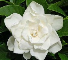 Gardenia 'Coconut Magic' p.p.a.f. (Gardenia jasminoides hybrid) blooms throughout the summer. Can be planted in the ground in zones 8 or higher or in a pot in cooler zones to be brought inside for the winter