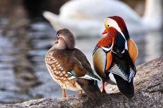 Anatra Mandarina (Aix galericulata). A sinistra una femmina e a destra un maschio #AnimaliVolanti