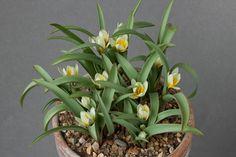 Tulipa bifloriformis Starlight